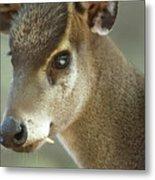 A Western Tufted Deer Elaphodus Metal Print