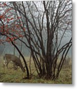 A White-tailed Deer Forages Metal Print by Raymond Gehman