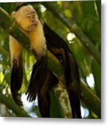 A White-throated Capuchin Monkey Metal Print by Roy Toft