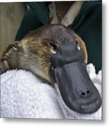 A Zookeeper Cradles A Platypus As Part Metal Print by Jason Edwards