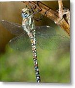 Aeshna Mixta Dragonfly Metal Print