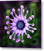 African Daisy - Hdr Metal Print