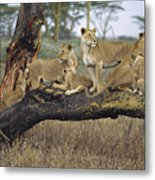 African Lion Panthera Leo Family Metal Print