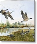Aleutian Geese At Lake Earl Metal Print