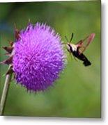 Amazing Insects - Hummingbird Moth Metal Print
