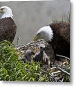 American Bald Eagles, Haliaeetus Metal Print