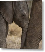 An Elephant Calf Finds Shelter Amid Metal Print