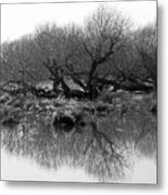 Ancient Pollard Trees Metal Print