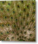Angry Peacock Metal Print