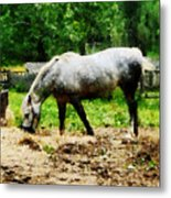 Appaloosa Eating Hay Metal Print