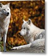 Arctic Wolves On Rocks Metal Print
