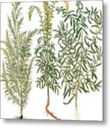 Artemisiae & Reseda Metal Print