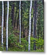 Aspens In The Woods Metal Print