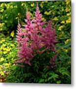 Astillbe In Light And Shadow Metal Print