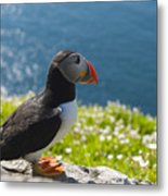 Atlantic Puffins, Fratercula Arctica Metal Print by Keenpress