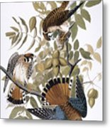 Audubon: Kestrel, 1827 Metal Print