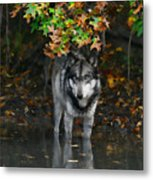 Autumn Wolf Metal Print