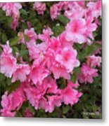 Azalea Watercolor  Metal Print by Fred Jinkins