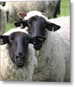 Baa Friends Metal Print