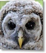 Baby Barred Owl-2 Metal Print