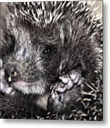 Baby Hedgehog Metal Print