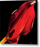 Back Lit Black Calla Lily Metal Print