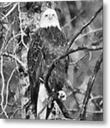 Bald Eagle In Black And White Metal Print