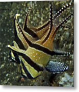 Banggai Cardinalfish With Egg, North Metal Print