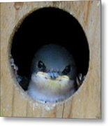 Barn Swallow Chick Metal Print by DigiArt Diaries by Vicky B Fuller