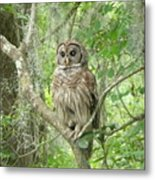 Barred Owl I Metal Print