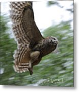 Barred Owl Taking Flight Metal Print