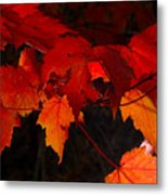 Beautiful Backlit Autumn Maple Leaves Metal Print