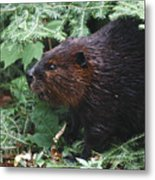 Beaver In Forest Metal Print