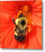 Bee And Nasturtium Metal Print