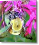 Bee On Bee Balm Metal Print
