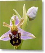 Bee Orchid Metal Print