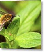 Beefly Metal Print