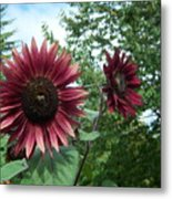 Bees On Sunflower 125 Metal Print
