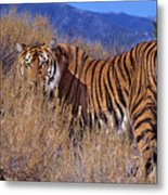 Bengal Tiger Endangered Species Wildlife Rescue Metal Print