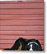 Bernese Mountain Dog Alertly Guarding Home. Metal Print