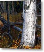 Birch Autumn 3 Metal Print