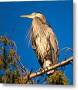 Birds Of Bc - No.7 - Great Blue Heron - Ardea Herodias Metal Print by Paul W Sharpe Aka Wizard of Wonders