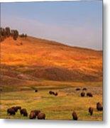 Bison Grazing On Hill At Hayden Valley Metal Print