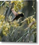 Black Chinned Hummingbird In Flight Metal Print
