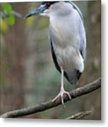 Black Crowned Night Heron IIi Metal Print