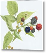 Black Raspberries Metal Print