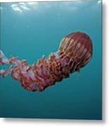 Black Sea Nettle Chrysaora Achlyos Metal Print