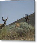 Blacktail Deer 2 Metal Print