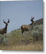 Blacktail Deer 3 Metal Print
