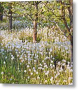 Blossoms Growing In A Fruit Orchard In Metal Print